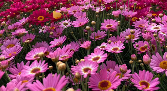 plantes fleuries des pépinières bellet de ladoucette